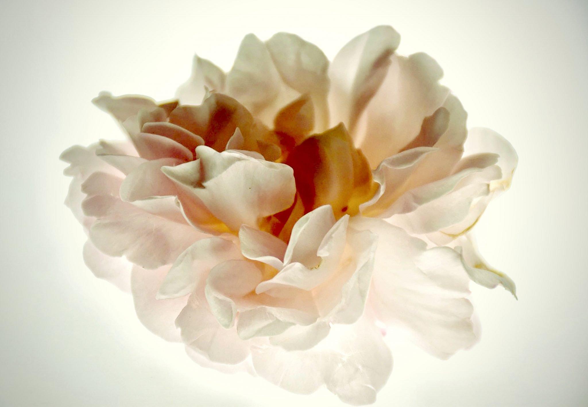 Cindy Pitou-Burton Dusty Rose Photograph