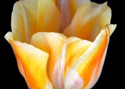 Ice Tulip, CPBurton 2016