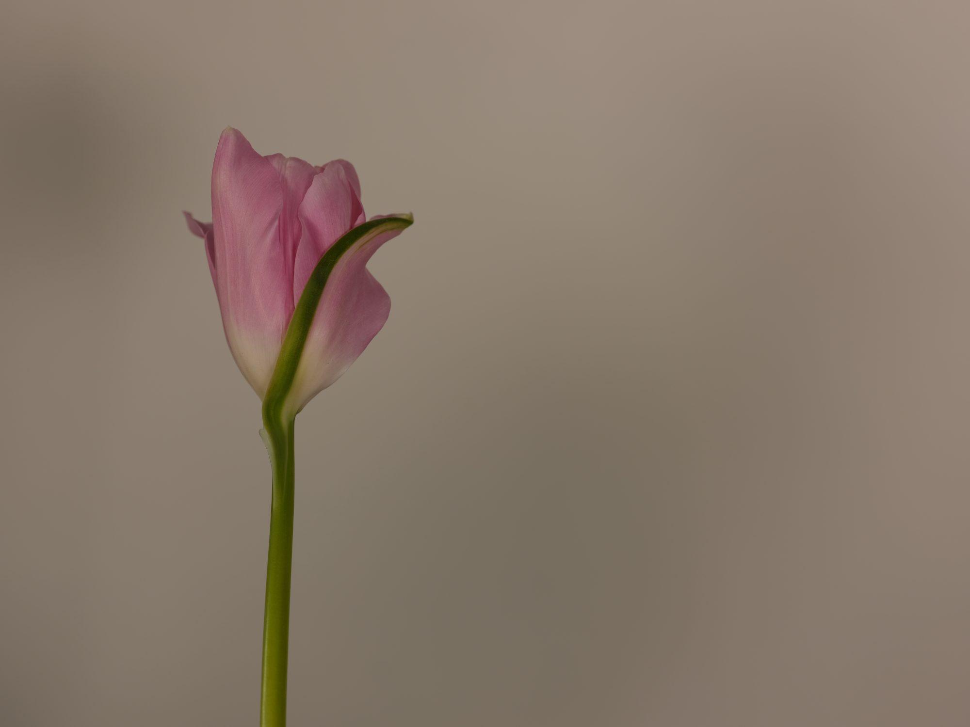 Tulip by Deborah Lyon