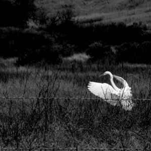 Deborah-Lyon_Ojais-Great-Egret_10_x8__Pigment-Ink-on-Palo-Duro-Softgloss-Rag