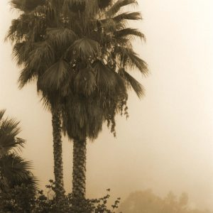 Palm in Fog Cindy Pitou Burton archival print on watercolor paper